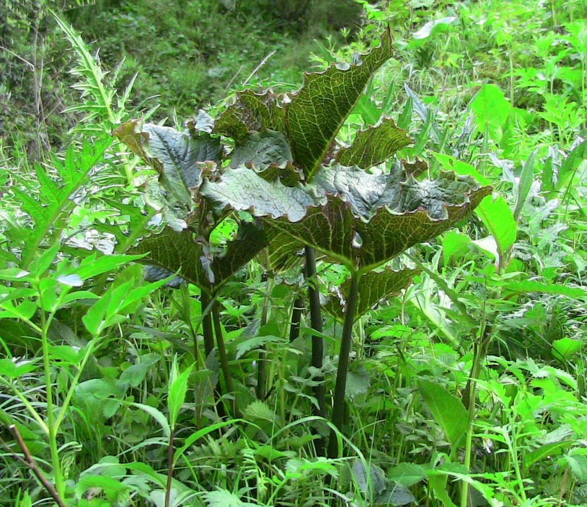arisaema griffithii-propiquum-utile complex1