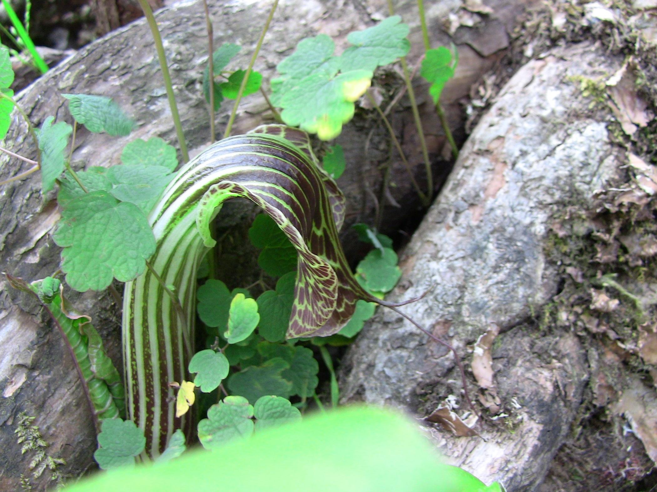 arisaema griffithii-propiquum-utile complex19
