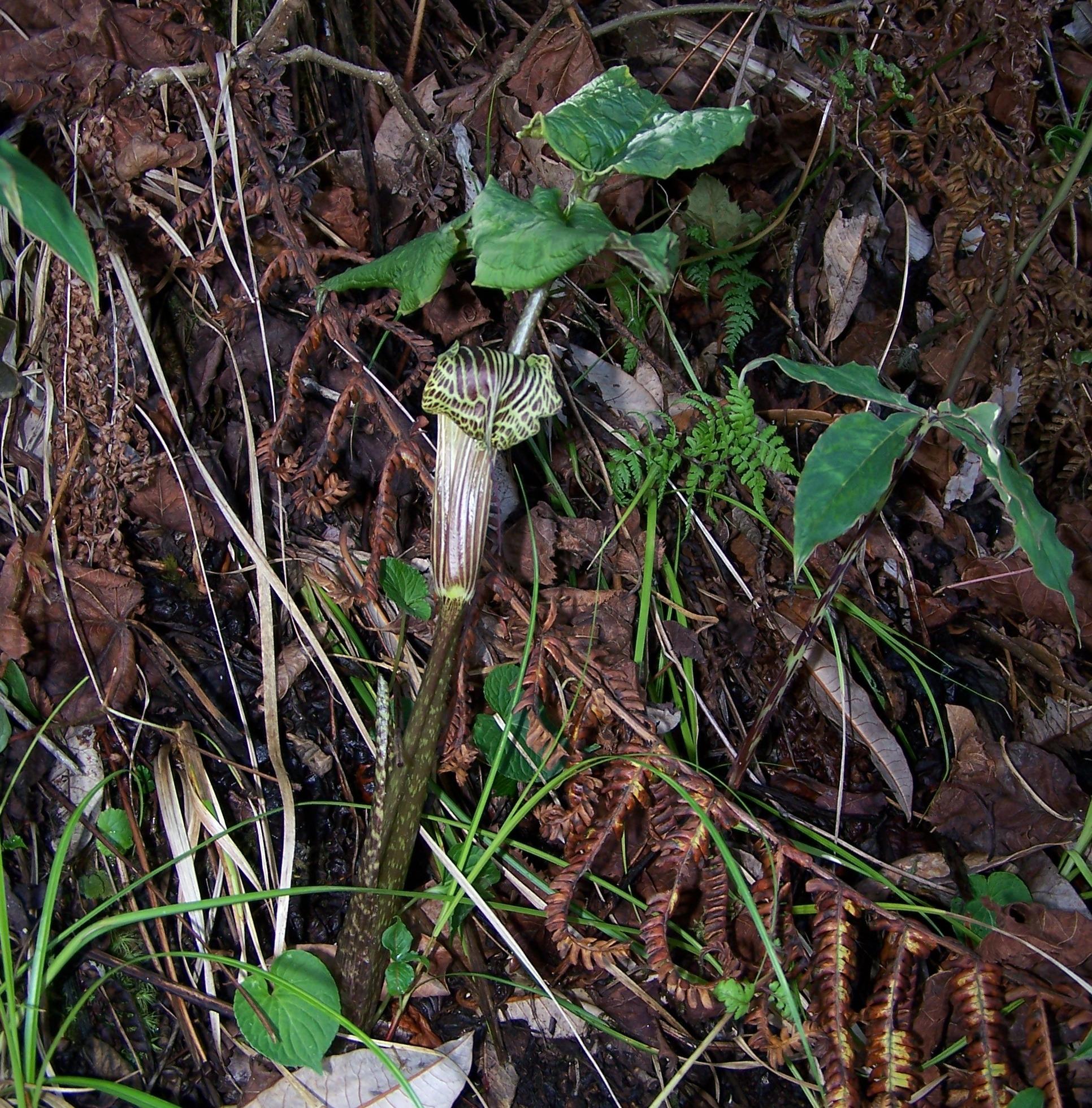 arisaema griffithii-propiquum-utile complex20