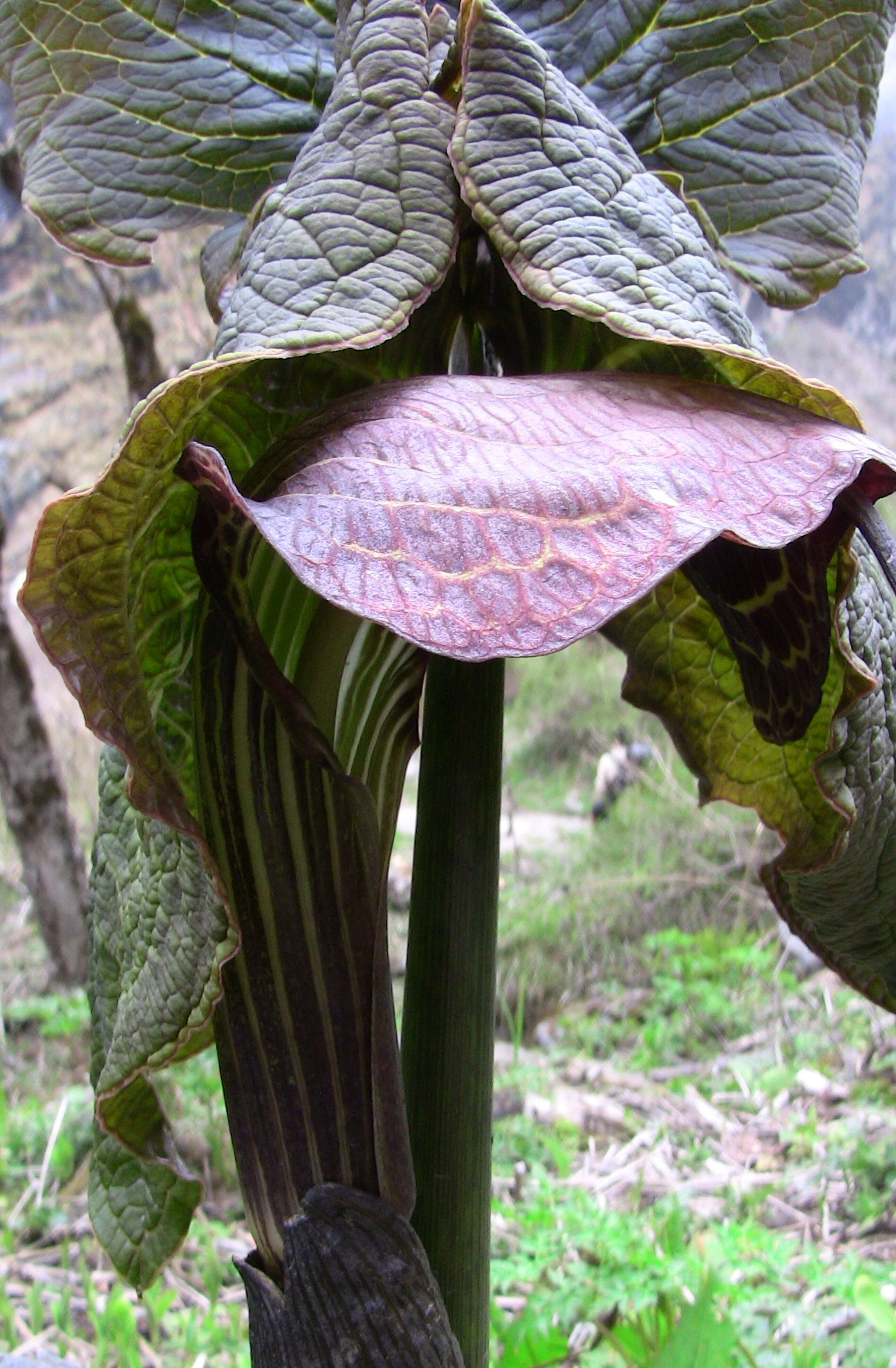 arisaema griffithii-propiquum-utile complex5