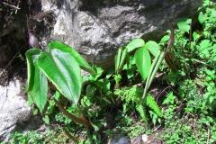 arisaema costatum1