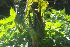 arisaema griffithii-propiquum-utile complex14
