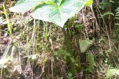arisaema griffithii-propiquum-utile complex15