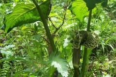 arisaema griffithii-propiquum-utile complex16