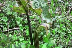 arisaema griffithii-propiquum-utile complex19 (2)
