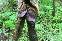 arisaema griffithii-propiquum-utile complex2
