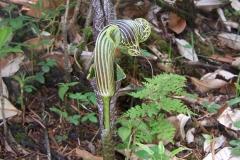 arisaema griffithii-propiquum-utile complex21