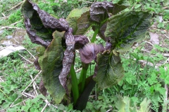 arisaema griffithii-propiquum-utile complex4