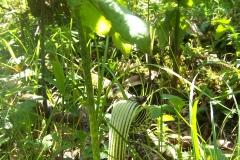 arisaema griffithii-propiquum-utile complex6