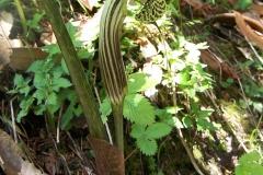 arisaema griffithii-propiquum-utile complex7