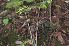 arisaema griffithii-propiquum-utile complex8
