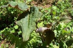 arisaema griffithii-propiquum-utile complex9