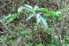 arisaema nepenthoides1