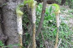 arisaema nepenthoides2