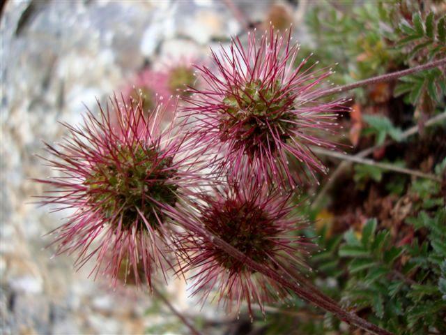 acaena microphylla01