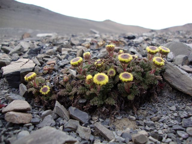 leptinella dendyi01