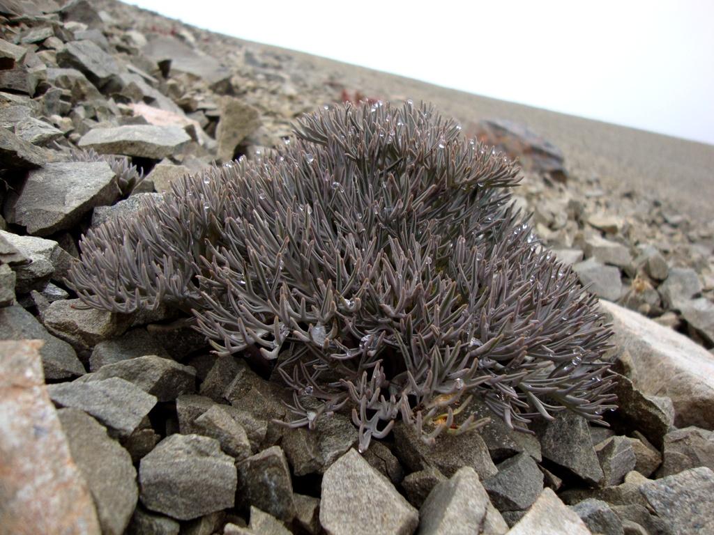 lignocarpa carnulosa01