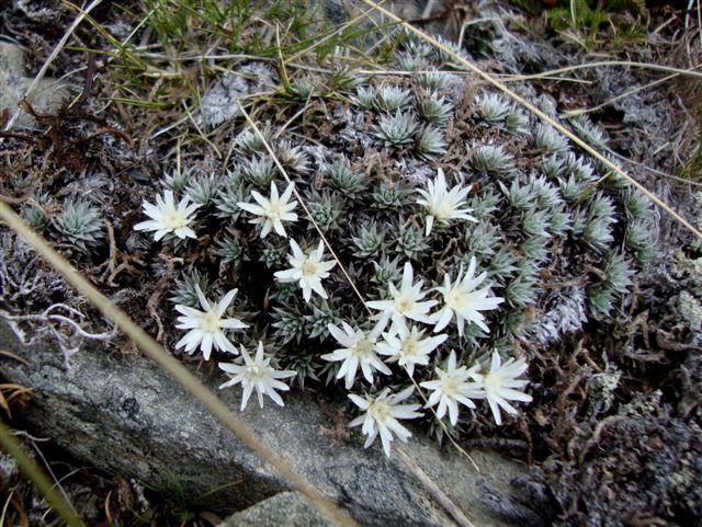 raoulia grandiflora01