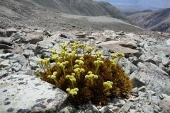aciphylla dobsonii01