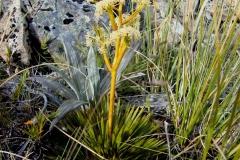 aciphylla species04