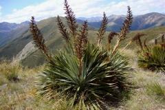 aciphylla species05