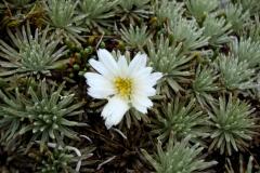 celmisia sessiliflora01