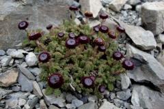 leptinella atrata01