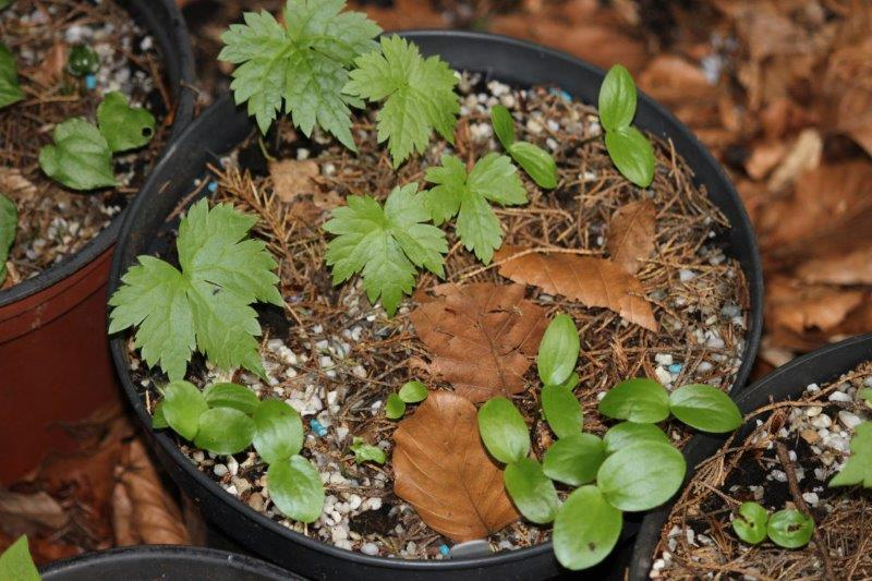 glaucidium palmatum3