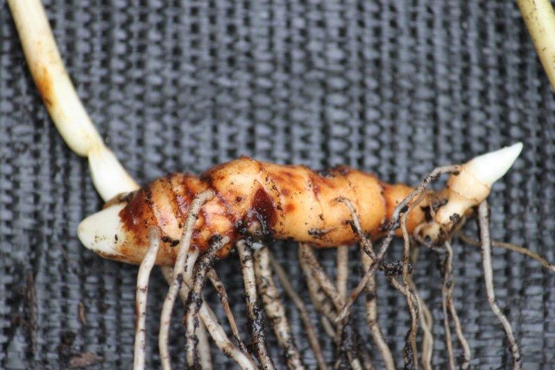 paris thibetica rhizome1