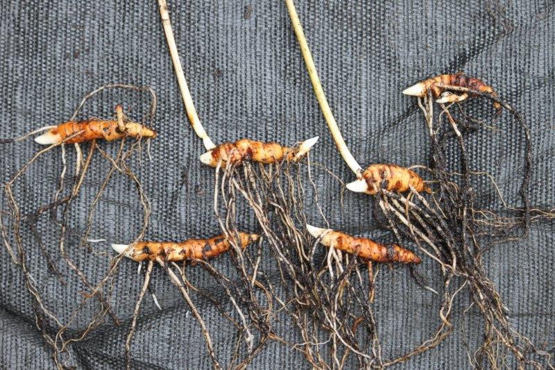 paris thibetica rhizomes