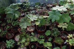 podophyllum seedlings1