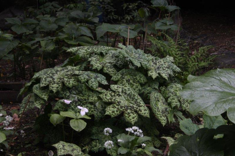 Podophyllum Spotty Dotty1