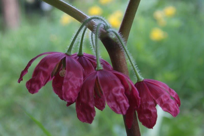 Podophyllum delavayi x mairei1 (2)
