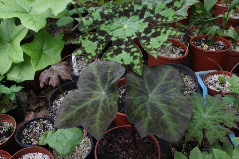 Podophyllum difforme2 (2)