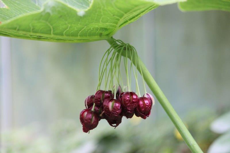 Podophyllum pleianthum1 (2)
