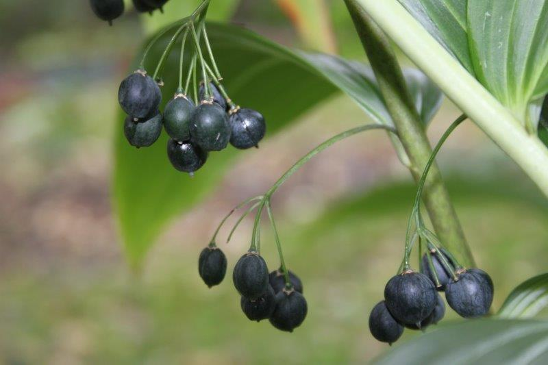 Polygonatum cyrtonema1 (2)