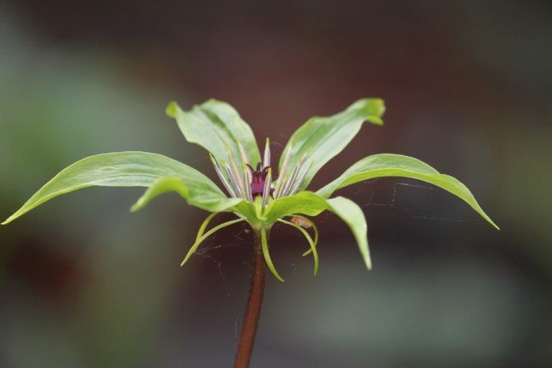 paris polyphylla var chinensis6