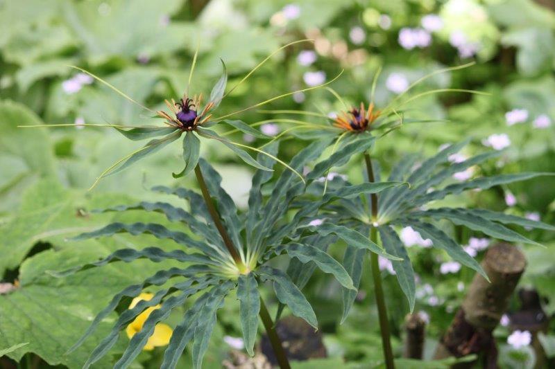 paris polyphylla var stenophylla6