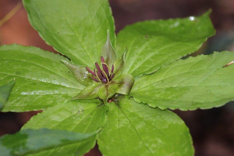 paris seedling23