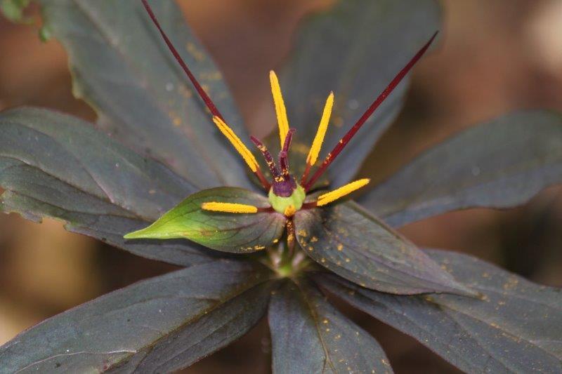paris species purple leaves2