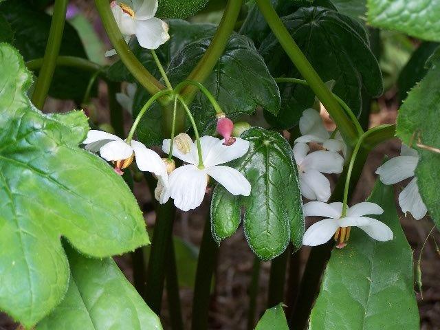 podophyllum aurantiocaule subspecies aurantiocaule (2)