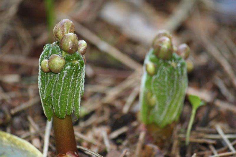 podophyllum aurantiocaule subspecies aurantiocaule6