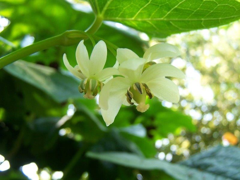 podophyllum aurantiocaule subspecies furfuraceum (2)