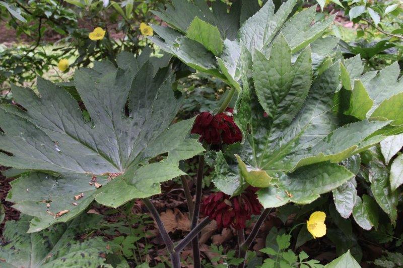 podophyllum delavayi hybrid1