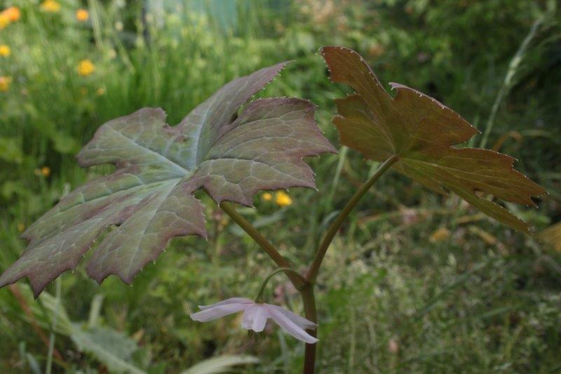 podophyllum delavayi x aurantiocaule