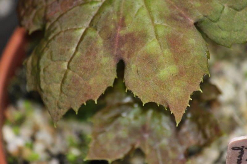 podophyllum delavayi x aurantiocaule5