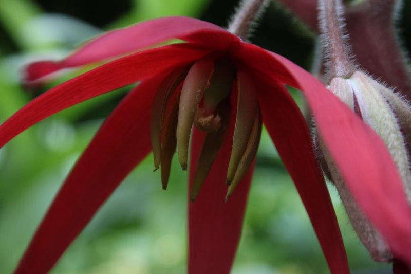 podophyllum delavayi13