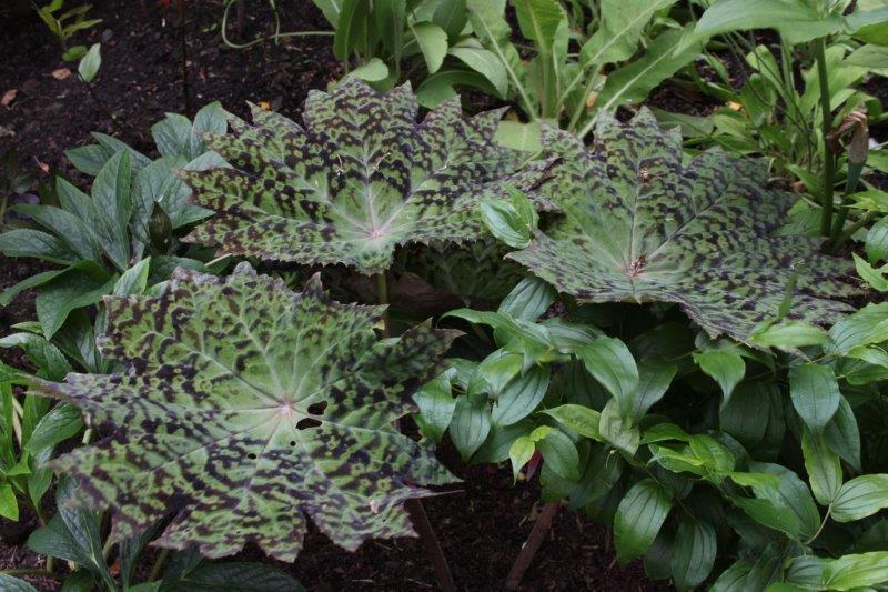 podophyllum delavayi15