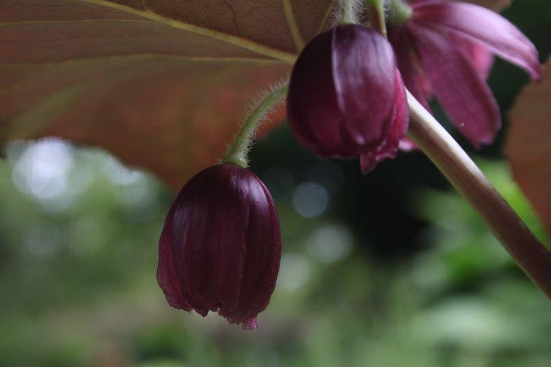 podophyllum difforme13