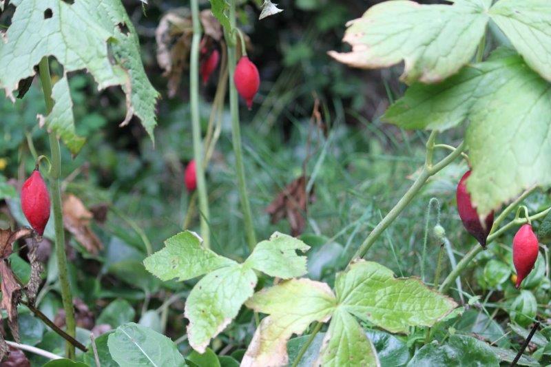 podophyllum emodi fruits